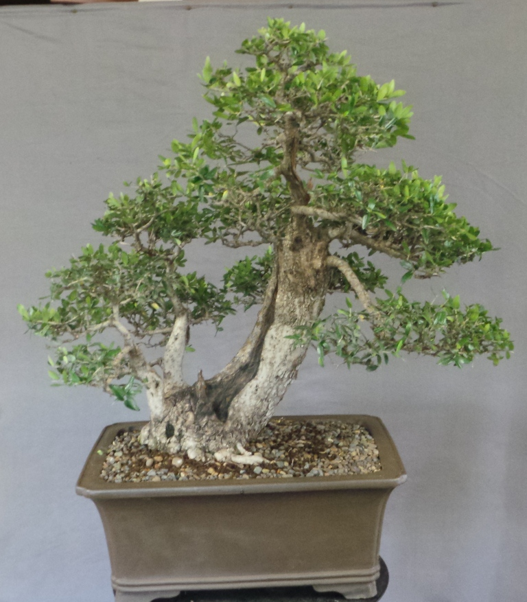 Mikibu bonsai for Pruning olive trees in pots
